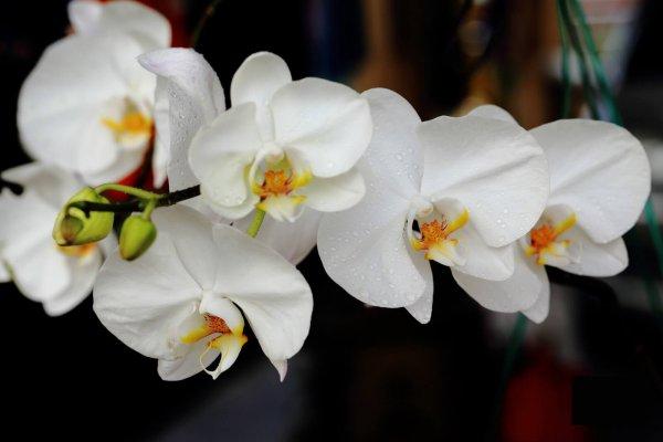 phalaenopsis-amabilis