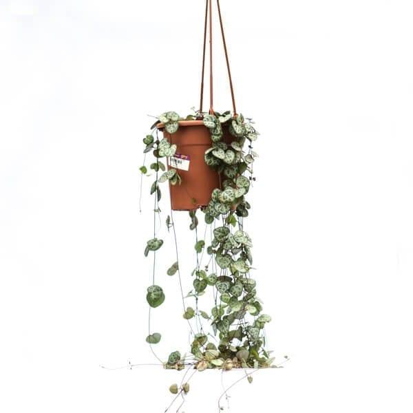 צמח הלבבות