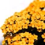ניצנית פרח צהוב מקרוב