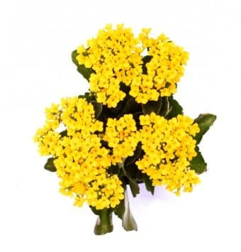 ניצנית פרח צהוב