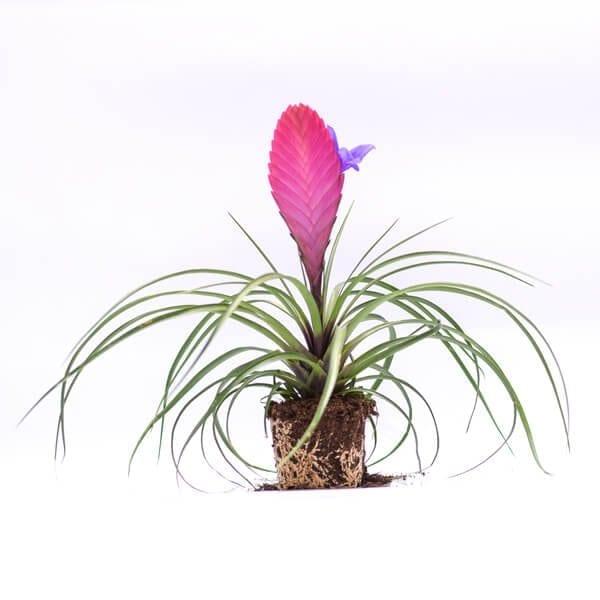 טילנדסיה- צמחי האויר