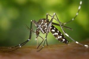 צמחים שמונעים עקיצות יתושים