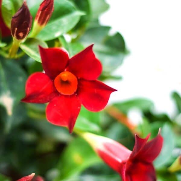 סנדביליה אדומה
