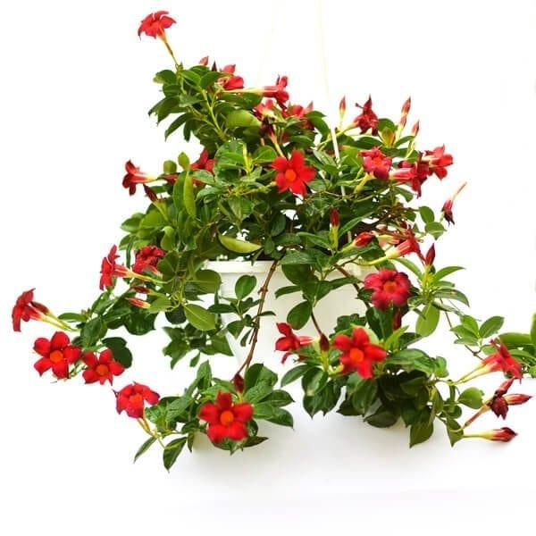 סנדוויליה פרח אדום
