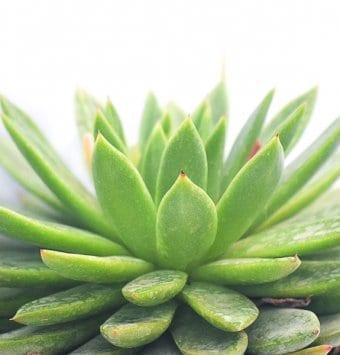 סוקולנט אכיוורה ירוק