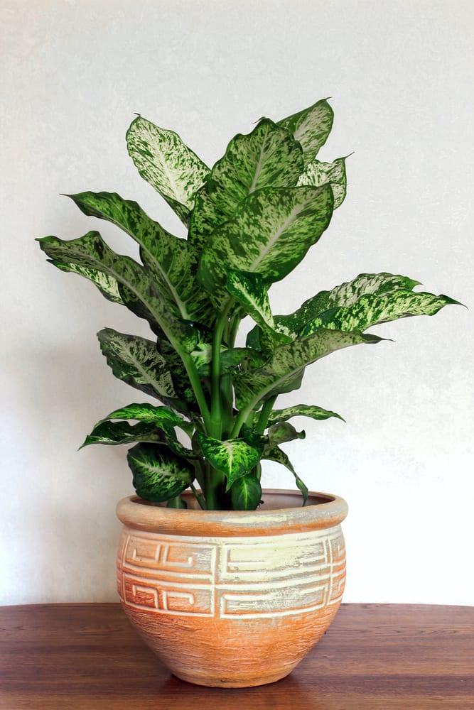 דיפנבכיה צמח מושלם למשרד