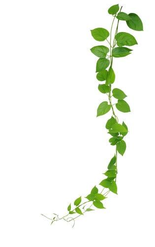 צמחים מטפסים