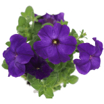 פטוניה סגול