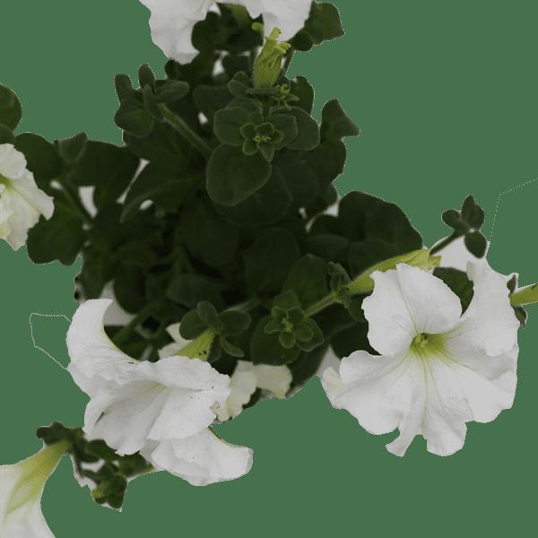 פטוניה לבן