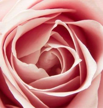ורד כלאי תה