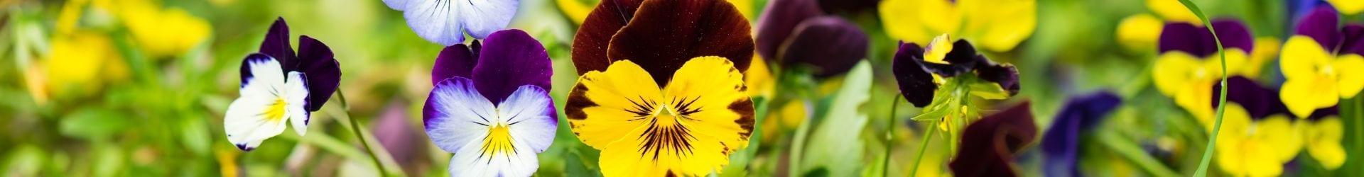פרחי חורף