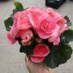 בגוניה ורד